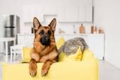 Netter Schäferhund und graue Katze liegen auf hellgelbem Sofa in Wohnung