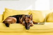 roztomilý německého ovčáka v sluchátka ležící na zářivě žluté pohovce s notebookem v bytě