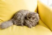 az apartmanban világos sárga kanapén fekve aranyos és szürke macska