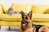 Selektivní fokus roztomilý německého ovčáka a šedá kočka leží na gauči