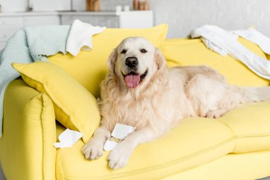 cute golden retriever in lying on bright yellow sofa in messy apartment