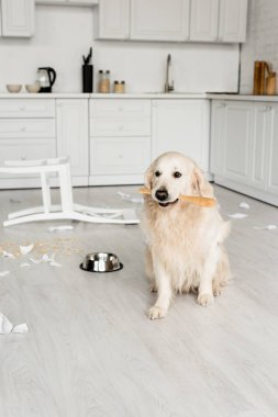 cute golden retriever sitting on floor and holding wooden spoon in messy kitchen