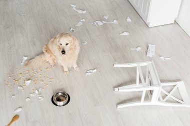 high angle view of cute golden retriever sitting on floor in messy kitchen