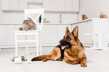 selective focus of German Shepherd lying on floor and grey cat lying on chair in messy kitchen