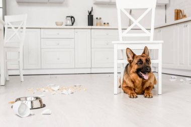 cute German Shepherd lying under white chair on floor in messy kitchen