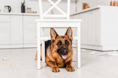 cute German Shepherd lying under white chair on floor and looking at camera in messy kitchen