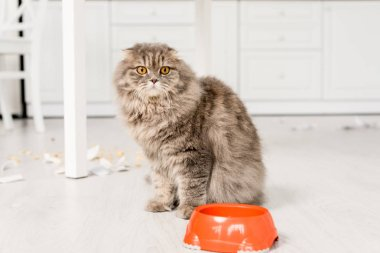 cute and grey cat standing on floor with plastic bowl in messy kitchen