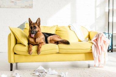 cute German Shepherd lying on bright yellow sofa in messy apartment