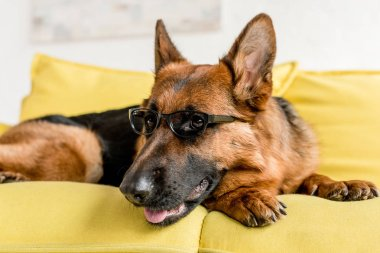 selective focus of cute German Shepherd in glasses lying on bright yellow couch in apartment