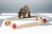 adorable fluffy raccoon on longboard in sunshine in grey