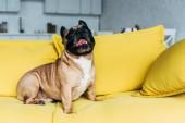 aranyos Francia Bulldog ül a sárga kanapén közelében párnák otthon