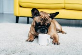 Photo cute french bulldog lying on carpet and looking at cup of coffee