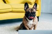 imádnivaló Francia Bulldog bemutatás nyelv rövid idő hazudó-ra szőnyeg és látszó-on laptop