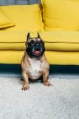 Fotografia adorabile Bulldog francese mostrando la lingua mentre si siede sul tappeto vicino al divano giallo a casa