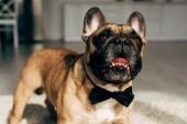 Fotografia adorabile Bulldog francese in papillon nero in piedi a casa