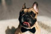 közelről imádnivaló Francia Bulldog fekete csokornyakkendő