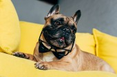 Photo cute french bulldog in black bow tie and glasses lying on yellow sofa at home