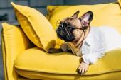 aranyos Francia Bulldog inget és poharakat feküdt sárga kanapé otthon