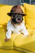 ravasz Francia Bulldog-ban ing és barna kalap ülő-ra sárga dívány-ban nappali