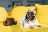 Francia Bulldog az ing és a szemüveg közelében fekvő barna kalap sárga kanapé
