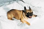 aranyos Francia Bulldog feküdt fehér ágynemű a modern hálószoba