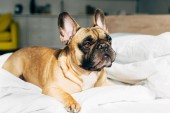 Photo adorable french bulldog lying on white bedding in modern bedroom