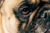 Photo close up of cute and purebred french bulldog