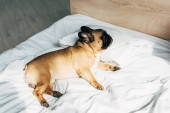 Photo adorable and purebred french bulldog lying on white bedding at home