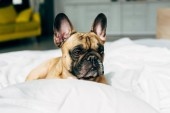 Photo adorable and purebred french bulldog lying on white bedding near pillow at home