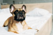 Photo cute purebred french bulldog lying on white bedding at home