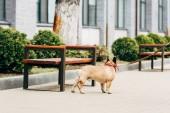 lyukas fajtiszta Francia Bulldog álló fa padok közelében