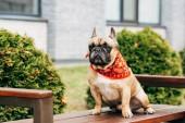 aranyos Francia Bulldog viselt piros sálat, és ült a fa padon