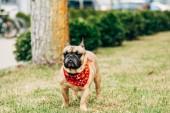 aranyos Francia Bulldog viselt piros sálat állva zöld fű