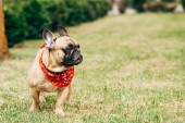 Photo cute purebred french bulldog wearing red scarf and standing on green grass