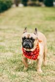 Fotografia Bulldog francese di razza che indossa sciarpa rossa e in piedi su erba verde