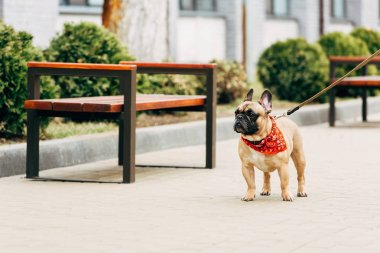 adorable and leashed purebred french bulldog standing near wooden benches