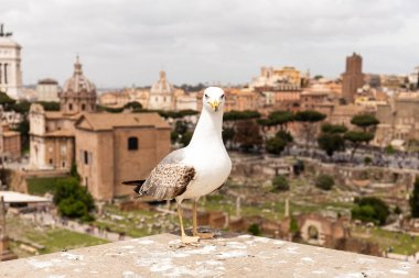 Front view of seagull in front of old buildings in rome, italy stock vector