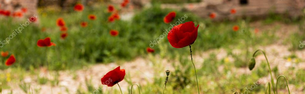 panoramic shot of green grass and red poppies in rome, italy