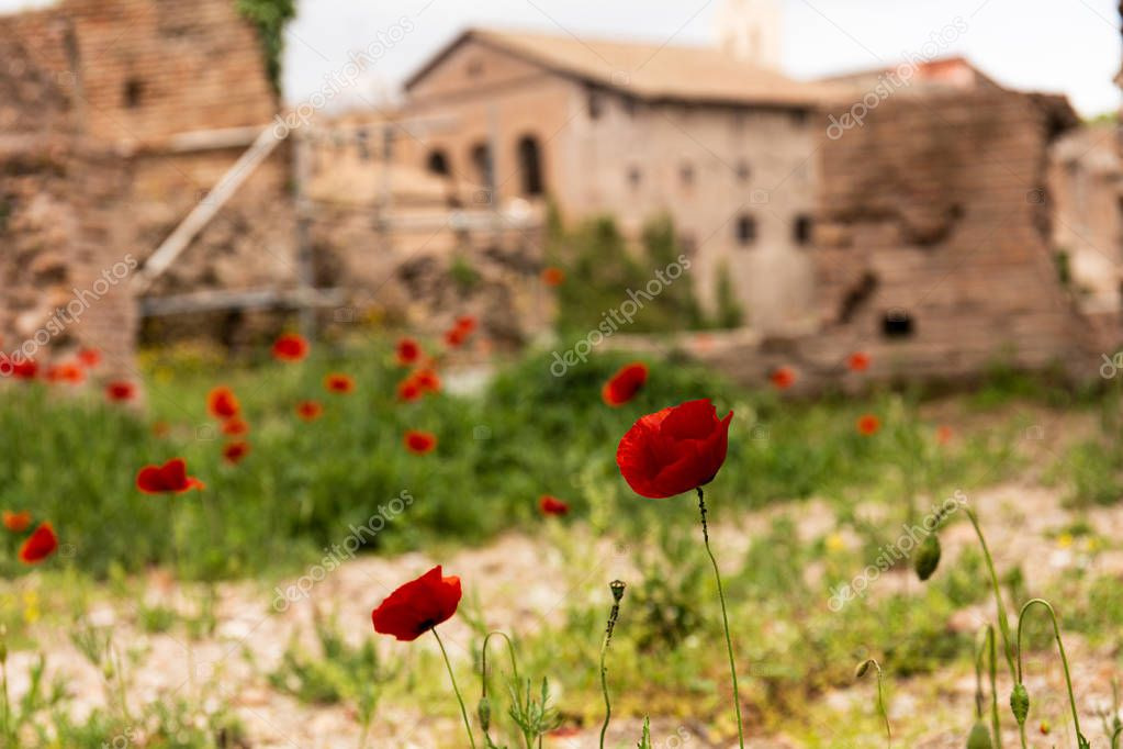 selective focus of red poppies and green grass near buildings in rome, italy