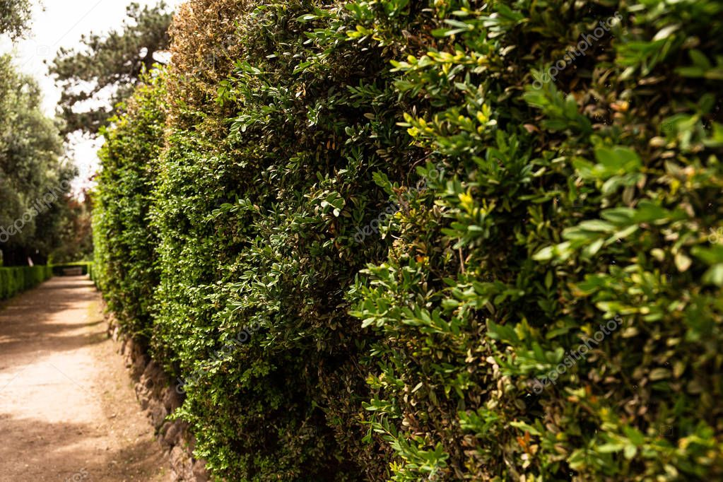 selective focus of green bushes in sunny day in rome, italy