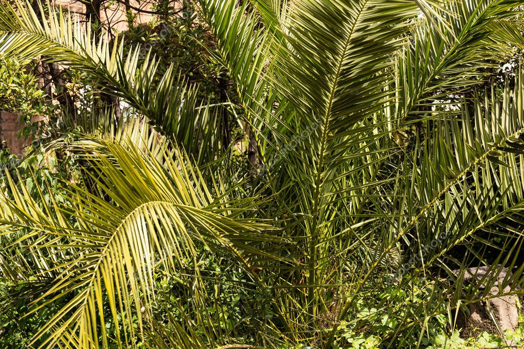 exotic green palm tree in sunny day in rome, italy