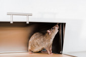 Kleine Ratte im Brotkasten in der Küche
