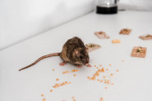 selective focus of small rat near peas and mousetraps