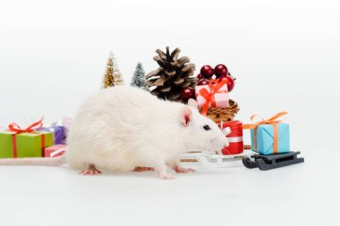 domestic rat near colorful presents on white