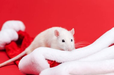 selective focus of cute white rat on  santa hats isolated on red