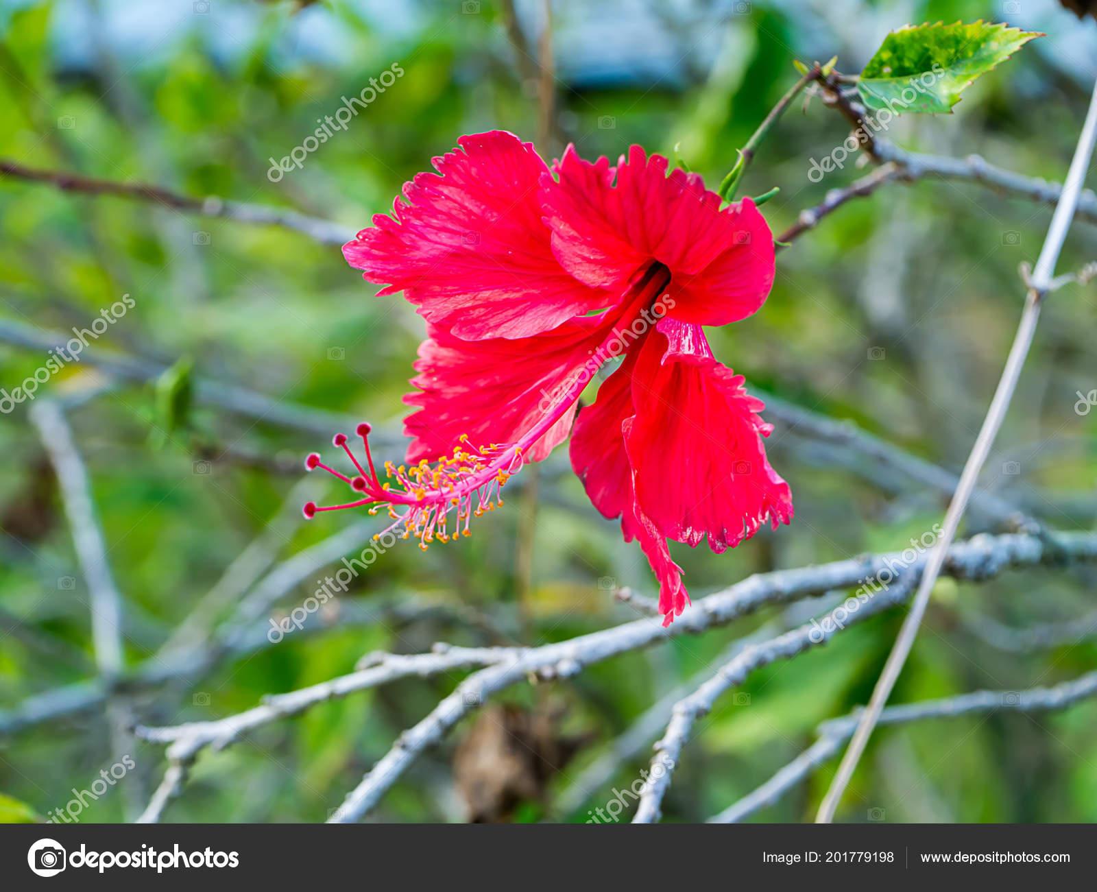 Dark Red Chinese Rose Shoe Flower Hibiscus Rosa Sinensis Stock