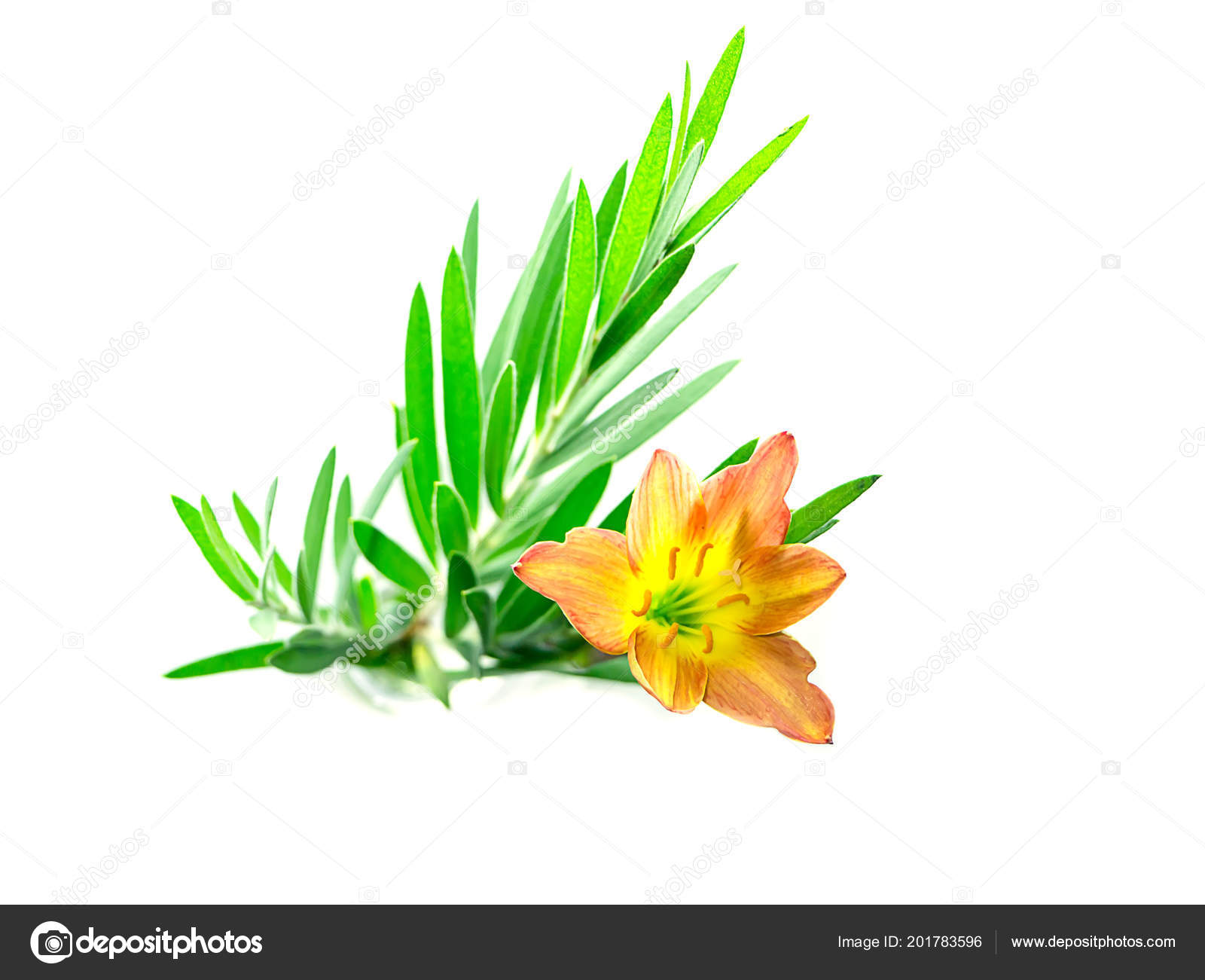 Beautiful Rain Lily Flower Zephyranthes Lily Green Leaves Stock