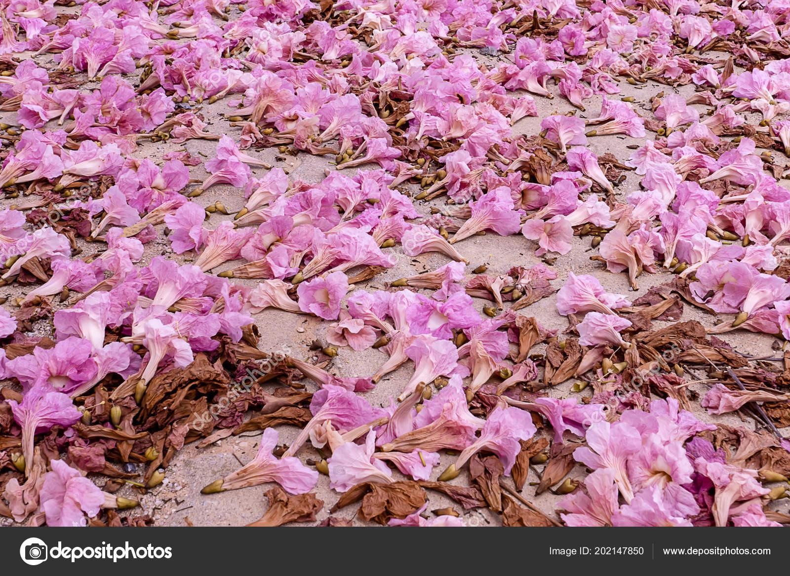 Pink trumpet flower fall ground tabebuia rosea tree stock photo pink trumpet flower fall ground tabebuia rosea tree stock photo mightylinksfo