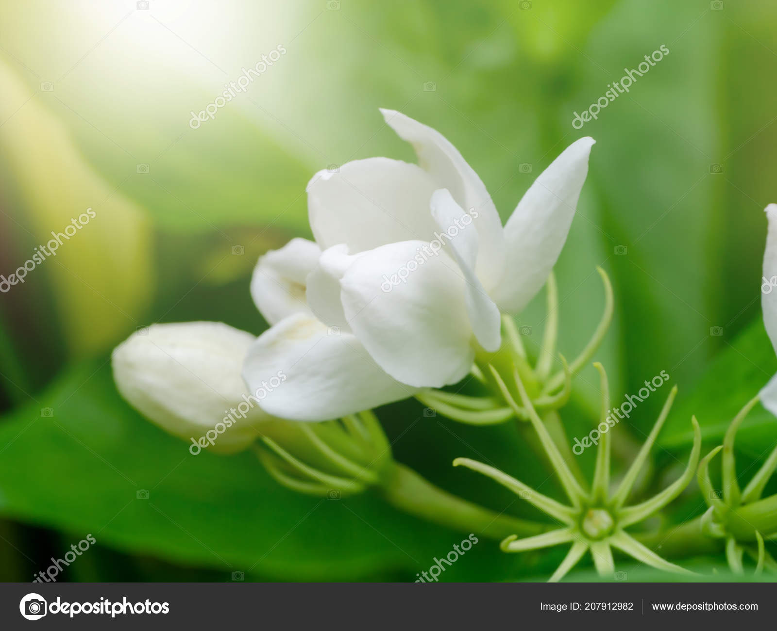 Close White Jasmine Flower Light Stock Photo Noppharatth 207912982