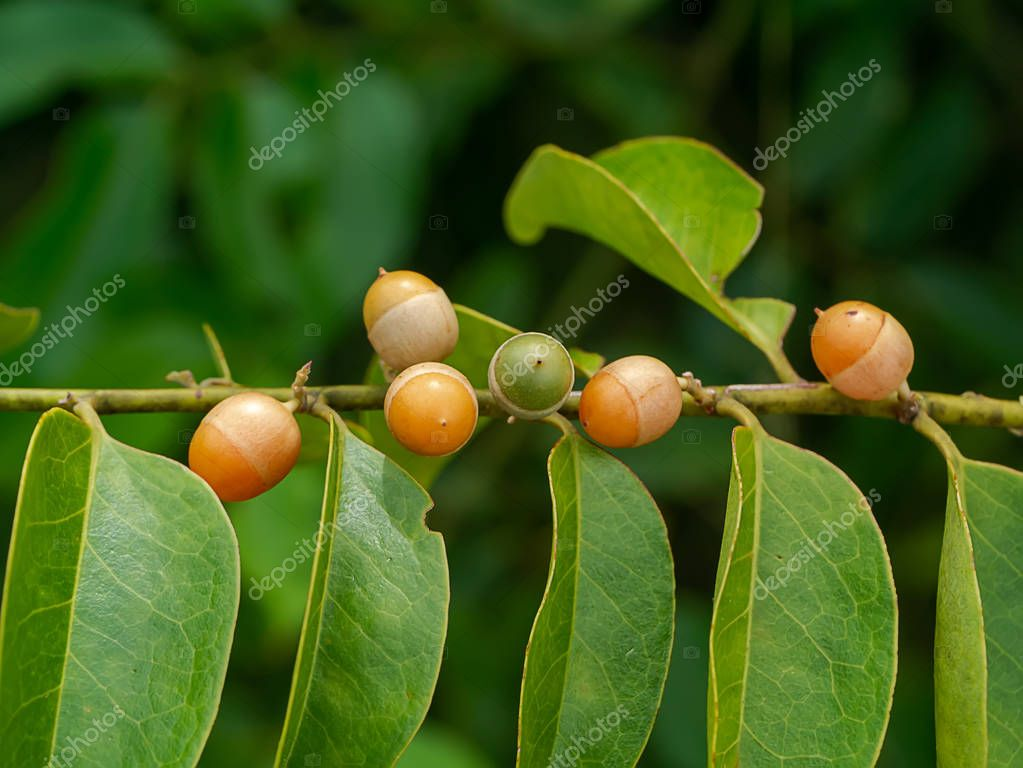 Fruit of Olax psittacorum (Lam.) plant on branch with leaf.